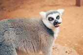 cute ring-tailed lemur feeding