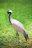 beautiful crane bird on green grass background
