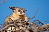 picture of possum  - brush tail possum in tree - JPG