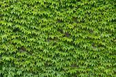 picture of ivy vine  - ivy wall background - JPG