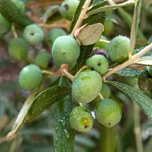 Olives on the tree with morning dew