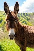 stock photo of wild donkey  - Friendly brown donkey outdoors - JPG