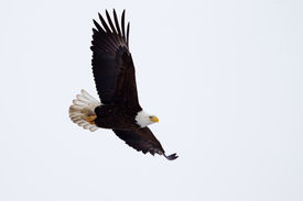 stock photo of fish-eagle  - American Bald Eagle flying close to the ground.