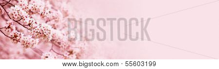 Spring Cherry blossoms in full bloom. Title header wide dimension image.