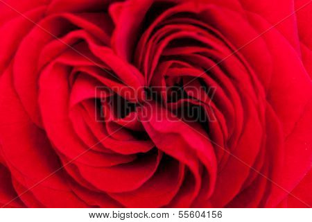 Beautiful Fragrant Red Rose For Love