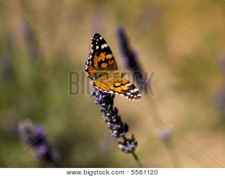 Orange Butterfly On Lavender
