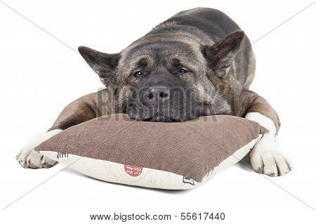American Akita On The Pillow