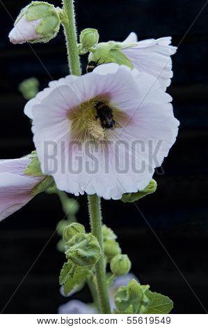 Bumblebee On A Hollyhock Flower