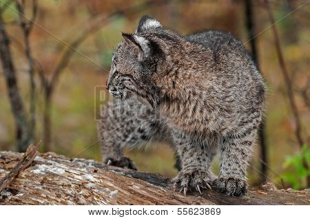 Bobcat Kitten (Lynx rufus) Looks Left Claws Extended