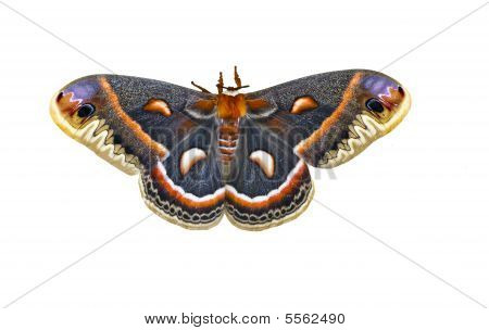 Cecropia Moth Isolated