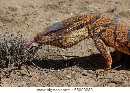 Monitor Lizard In Kyzyl Kum Desert, Uzbekistan
