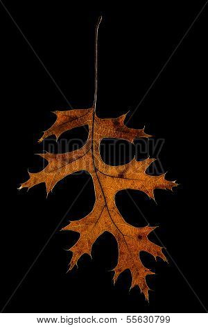 Glowing Oak Leaf