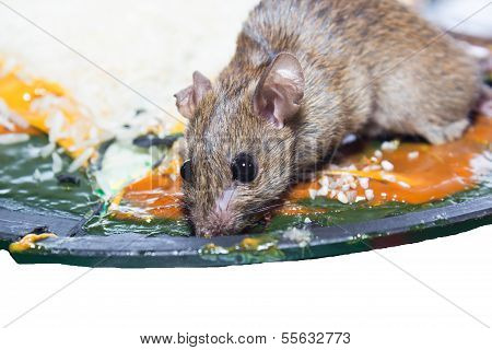 Mouse captured in a mouse trap