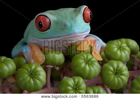 Red-eyed Tree Frog On Poke Weed
