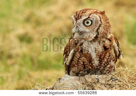 Owl resting in the grass