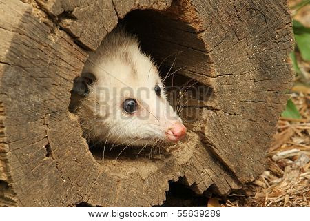 Little Opossum in a Log