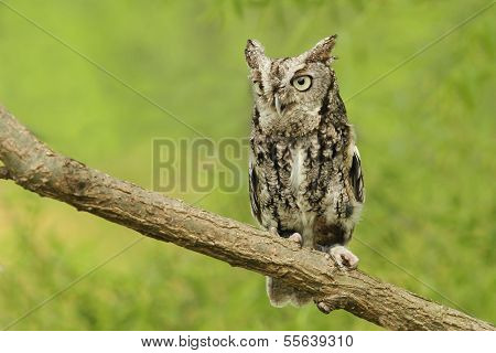 Little Gray phased Screech Owl