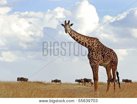 KENYA - AUGUST 5: An African Giraffe (Giraffa camelopardalis) on the Masai Mara National Reserve safari in southwestern Kenya.