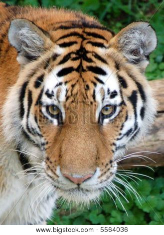 Tiger Stare