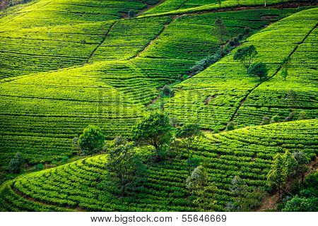 Tea plantation in Sri Lanka. Beautiful landscape