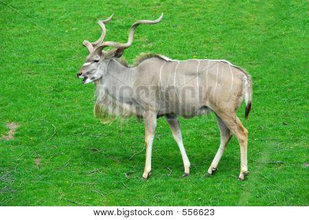Big Antelope