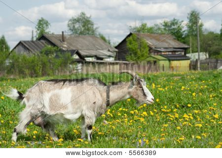Nanny goat on meadow