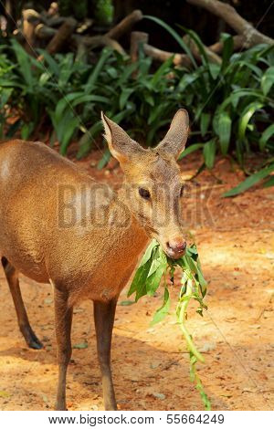 Eating Grass Of Sika Deer In The Nature