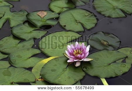 Waterlily In Pond