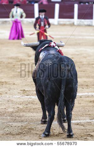 Bull black 650 kg looking thoroughly banderillero prepared to put flags in the Bullring of Ubeda