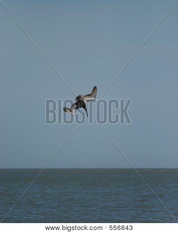 Pelican Falling
