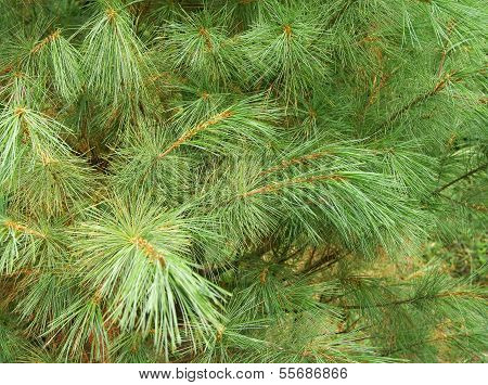 immergrüne Zeder hautnah