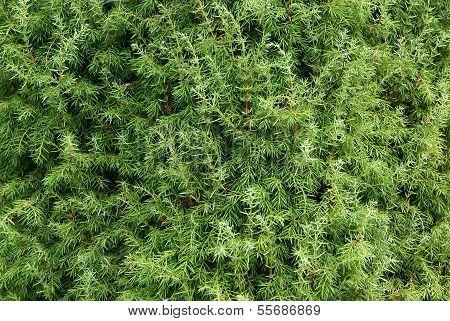 Juniperus Close-up