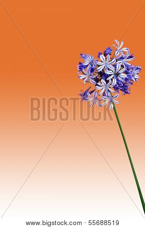 Agapanthus isolated