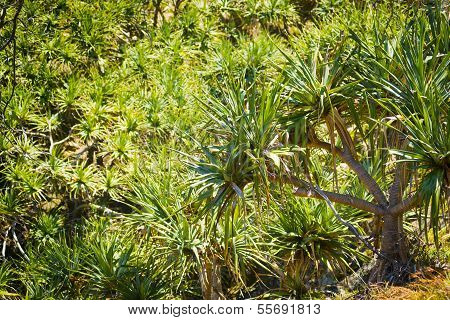 Pandanus Palm Tree