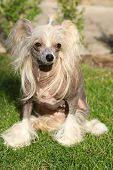 Chinese Crested Dog Sitting
