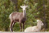 Two Young Stone Sheep Ovis Dalli Stonei Watching