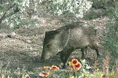 image of wild hog  - Javelinas are members of the peccary family - JPG