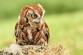 pic of screech-owl  - a little red screech owl in nature daytime summer 