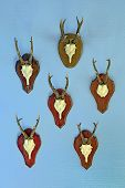 picture of roebuck  - Six horned roebuck skulls on wall as hunting trophies - JPG