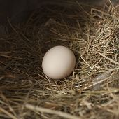 foto of egg-laying  - Free range chicken egg laying in nest - JPG