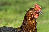 stock photo of bantams  - A close up of a free range bantam hen  - JPG