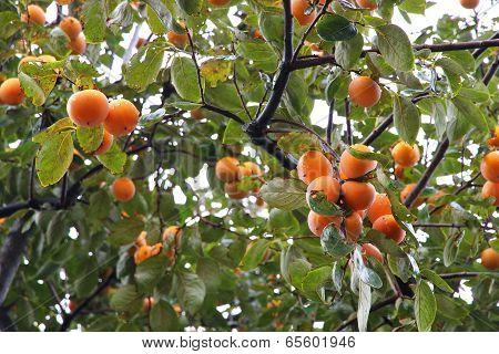 Kaki Tree