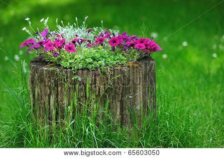 Beautiful Petunia Flowers Grow