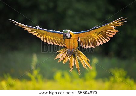 Landing Blue-and-yellow Macaw - Ara Ararauna In Backlight