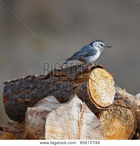White-breasted Nuthatch On A Log