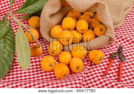 Loquat Harvest