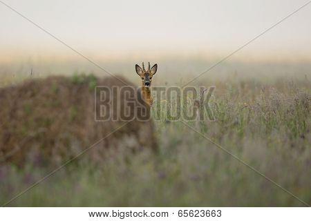 Buck deer in the morning mist