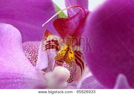 Macro Of Pink Orchid Flower
