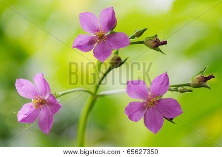 Ceylon Spinach Pink Beautiful Flowers
