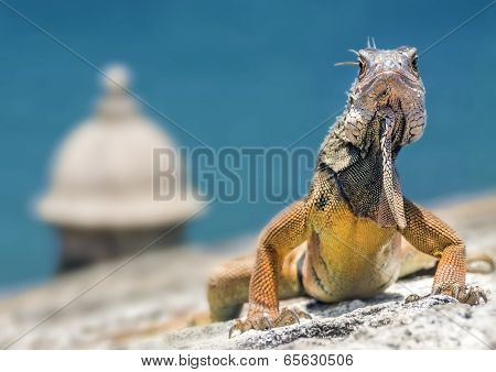 Iguana on Fortress
